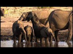 Afrika vahşi yaşam belgeseli aslanların avlanması - http://www.scivido.com/video/afrika-vahsi-yasam-belgeseli-aslanlarin-avlanmasi/