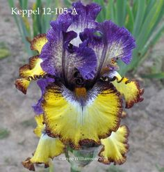 Keppel seedling 12-105-A