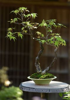清香園 江戸よりつづく盆栽の老舗 盆栽教室 Bonsai Tree Care, Bonsai Art, Bonsai Plants, Bonsai Garden, Mame Bonsai, Mini Plants, Indoor Plants, Red Maple Bonsai, Japanese Maple Garden
