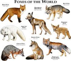 Fine art illustration of some species of fox
