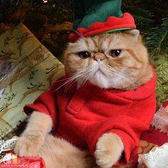 "What is this ""neutering on Thursday"" you speak of?  #exoticshorthair #cat #cute #flatface #kitten #meow #pet #mreggs #catlover #exoticsofinstagram #smushface #weeklyfluff #elf"