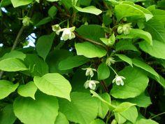 schisandra chinensis - Google Search