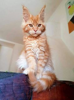Pics Of Cute Cats, Cool Cats, Orange Tabby Cats, Red Cat, Cat Qoutes, Tortoiseshell Tabby, Large Domestic Cat Breeds, Orange And White Cat, Chesire Cat