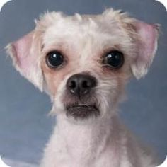 Ted is an adoptable Maltese Dog in Chicago, IL. Ted is a playful, fun and wiggly, one-year-old, nine-pound, male, white, Maltese/Shih Tzu-mix looking for a loving guardian. Ted loves to play with othe...