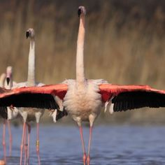 Les oiseaux en toutes saisons   Parc Ornithologique du Pont de Gau Flamingo, Ride Or Die, Bridge, Flamingo Bird, Flamingos