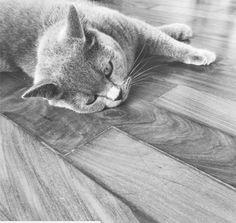 Gato Pickles está exausto. A raça dele é Brittish Shorthair Blue.