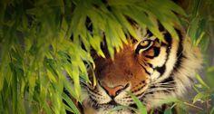 Bing wallpaper - Tigre du Bengale