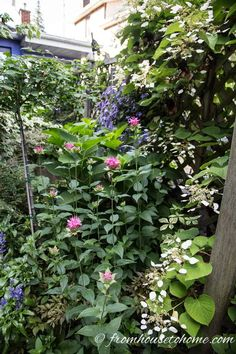 Having trouble with your hydrangeas not blooming? Find out how to fix the problems so that you can grow these beautiful flowers in your garden. Incrediball Hydrangea, Hydrangea Petiolaris, Hydrangea Macrophylla, Smooth Hydrangea, Hydrangea Not Blooming, Hydrangea Garden, Clematis Plants, Flowers Perennials, Purple Clematis