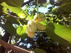 https://flic.kr/p/wHFcey | white mulberry