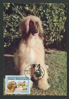 SAN MARINO MK HUNDE DOGS WINDHUND AFGHANE MAXIMUMKARTE MAXIMUM CARD MC CM d4409