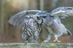 By Ingo and friends via Owl Lovers FB page.