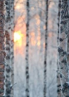 Winter Birch Woods at Sunrise | Johannes Sipponen Photography | The Longest Night -