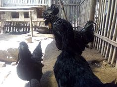 Ini dia Mitos Ayam Cemani Tanpa Bayangan