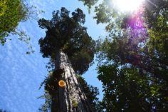 Alerce milenario. Parque nacional alerce andino. Chile