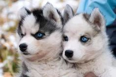 Image via We Heart It #adorable #amazing #animal #awesome #aww #background #beauty #cool #dog #Dream #eyes #friend #image #pet #photography #picture #puppies #puppy #tumblr #wallpaper #wow #summerautumn #cute #love #prettybeautifulperfect