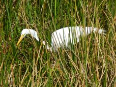 """Hide And Seek"" - Great Egret - Steve Hoffacker - http://stevehoffacker"