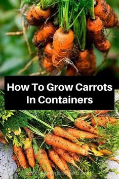 Growing carrots each year and looking forward to their crunch and color may be a highlight of every summer for you. Learning how to grow carrots in containers not only maximizes space, it can help you Growing Carrots, Growing Veggies, Growing Herbs, Gardening For Beginners, Gardening Tips, Carrot Varieties, Gemüseanbau In Kübeln, Container Gardening Vegetables, Growing Vegetables In Containers