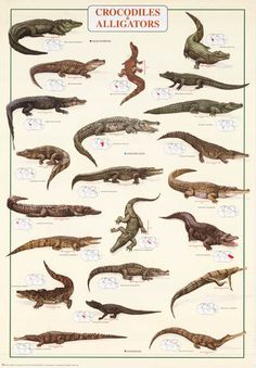 A great poster of Crocodiles and Alligators! Features nice illustrations of both species and maps of habitat. Fully licensed. Ships fast. 27x39 inches. Need Poster Mounts..? bm6621