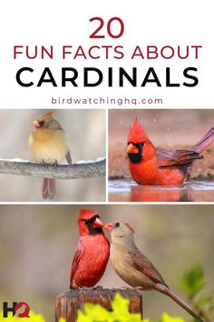 Northern Cardinals are one of the most POPULAR birds in North America. How many of these 20 fun and interesting facts do you know? #cardinals #birdwatching