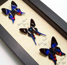 rhetus dysonii arcius periander set Butterfly from peru in an Archival Conservation Display