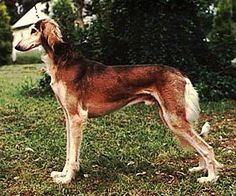 red salukis are such gorgeous dogs