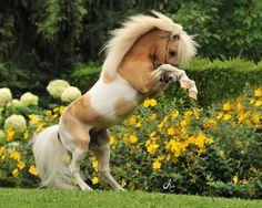 miniature horse (NOT) Miniature Shetland Pony! Baby Horses, Cute Horses, Horse Love, Wild Horses, Poney Miniature, Miniature Ponies, All The Pretty Horses, Beautiful Horses, Animals Beautiful