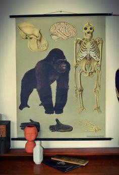 Genuine Anatomical School Room Chart Of Gorilla