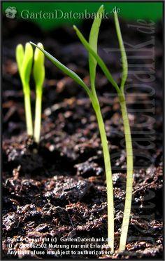 """#Koriander #Coriandrum sativum: Koriander (Coriandrum sativum) sät man an verschiedene Standorte:  Halbschatten für bestes Blattwachstum oder volle Sonne für beste Samenernte.  > Früchte, Beschreibung: Bei den kugelförmigen, braunen Koriander-""""Samen"""", die süßlich-würzig und etwas anisähnlich schmecken, handelt es sich in Wirklichkeit um die Früchte:  Eine aus 2 Teilfrüchten bestehende Spaltfrucht (Doppelachäne).  Deshalb wachsen aus ihnen häufig dicht an dicht 2 Keimlinge, die man…"""