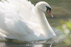 Лебед, Езеро, Вода Птица, Оперение