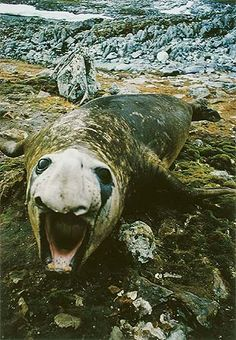 Elephant Seal, Litchfield Island, Antarctic Peninsula, Antarctica, February 1976