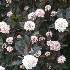 Ninebark.  Such a pretty shrub for a hedge.  Grows 5-10 feet tall.