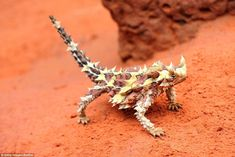Thorny devils can drink up water through their spiky armour which directs the water straight to its mouth