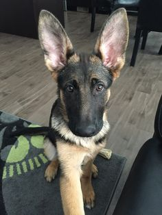 Love German Shepherd puppies!! Her ears
