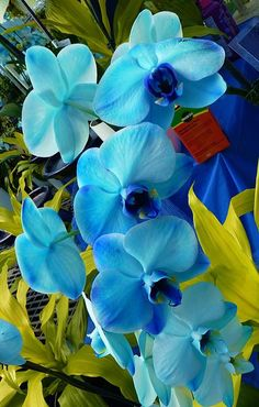 Exotic Blue Orchids. Mother nature understands complimentary hues make a great show for us lowly humans.