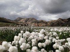 Cotton grass (Eriophorum vaginatum), Iceland