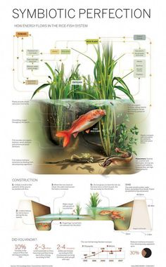 """""""Infographic: Rice-Paddy Aquaculture"""" I've noticed that most permaculture farms and institutes use rice paddies. Aquaponics System, Aquaponics Diy, Aquaponics Greenhouse, Hydroponic Growing, Hydroponic Gardening, Gardening Tips, Gardening Apron, Vegetable Gardening, The Farm"""