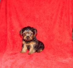 Puppies for Sale Yorkies For Sale, Puppies For Sale, Yorkshire Terrier Puppies, Dundee, Places, Dogs, Cute, Animals, Animales