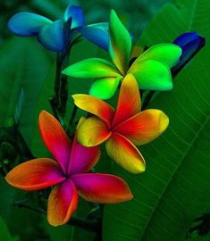 RAINBOW PLUMERIA: #blue #girly #georgeus #fiji #color #jungle #natural #flores #tropical #background #pretty #nature #flowers #pink #green #mexico #flor #flower #hawaii #brazil #colors #random #followback #color #FF