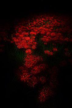 Red Spider Lily #RedSpiderLily #LycorisRadiata #曼珠沙華 #彼岸花