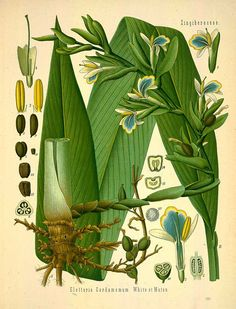 Get to know the many cardamom spice benefits. About the cardamom plant. How to use cardamom spice in cooking. Discover the cardamom health benefits. Illustration Botanique, Plant Illustration, Botanical Illustration, Botanical Drawings, Botanical Prints, Cardamom Plant, Cardamom Essential Oil, Impressions Botaniques, Healthy Herbs