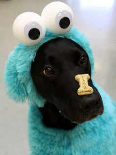 22 Funny Dog Costumes for Halloween - Funny Dog Quotes - Cookie Monster! 22 Funny Dog Costumes for Halloween via Brit Co. The post 22 Funny Dog Costumes for Halloween appeared first on Gag Dad. Pet Halloween Costumes, Funny Costumes, Animal Costumes, Pet Costumes, Best Dog Costumes, Diy Dog Halloween Costumes, Puppy Costume, Woman Costumes, Couple Costumes