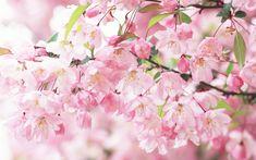 Cherry Blossom | Cherry blossom petals pink spring Wallpaper | 1920x1200 wallpaper ...
