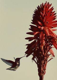 #hummingbird feeding on Red Hot Poker