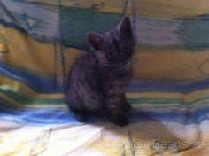 Britská Koťata Cats, Animals, Gatos, Animales, Animaux, Animal, Cat, Animais, Kitty