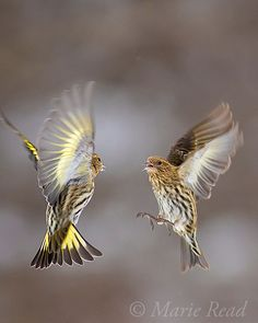 Pine Siskins (Spinus pinus)  two fighting in midair, winter, New York, USA