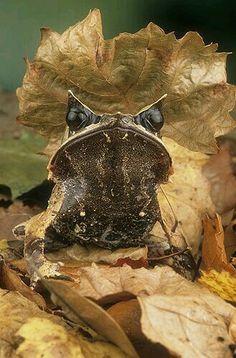 Malayan Leaf Frog (Megophrys nasuta)