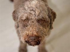 Anett Seidensticker - Photographie - Podgi & Beppa Lagotto Romagnolo, Dogs, Animals, Photography, Dog Training School, Photo Shoot, Animales, Animaux, Pet Dogs