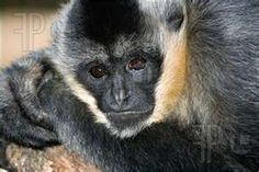 gibbon showing the characteristic intent and slightly sad expression