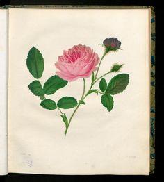 Die Moosrose. Rosa muscosa.