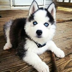 #dogstagram#dogsofinstagram#dogsofig#dog#instadog#doggy#doggie#cutedog#cutie#siberianhusky#pet#petsofinstagram#instapet#beautiful#puppy#like4like#wolf#animallover